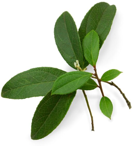 óleo essencial de wintergreen