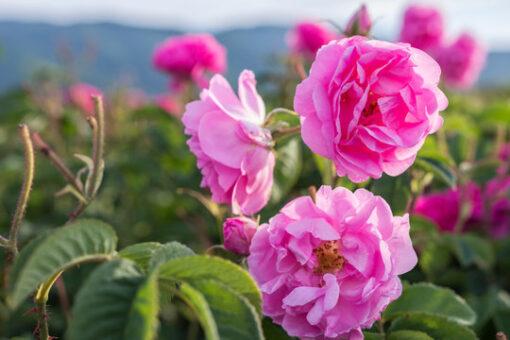 óleo essencial de rosa doterra touch